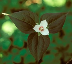 Painted Trillium Wildflower