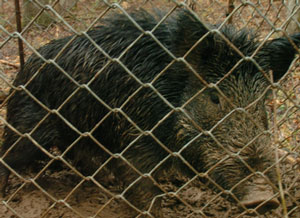 Hog in trap.