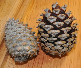 Serotinous cones require fire's heat to open.
