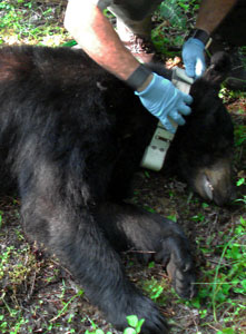 Fitting radio telemetry collar on captured bear.