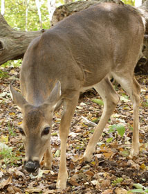 A white-tailed deer near Gregory Bald.
