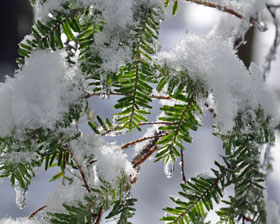 Snow on hemlock.