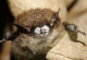A Little Brown Bat with White-Nose Syndrome.