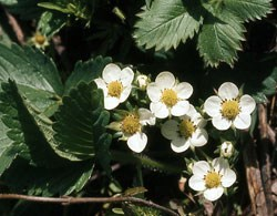 Wild Strawberry Wildflower