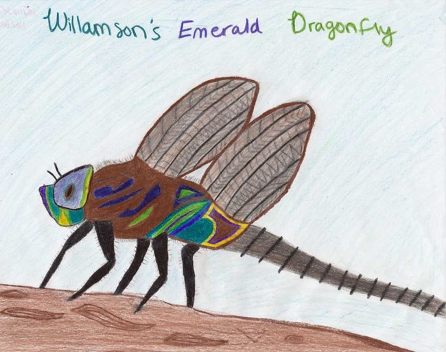Williamson Emerald Dragonfly