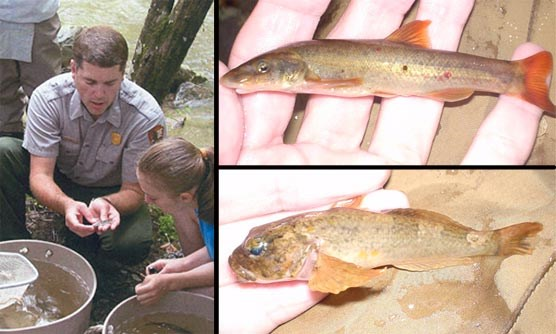A composite of 3 photos showing a National Park Service Fisheries Biologist identifying a fish; a longnose dace; and a mottled sculpin.