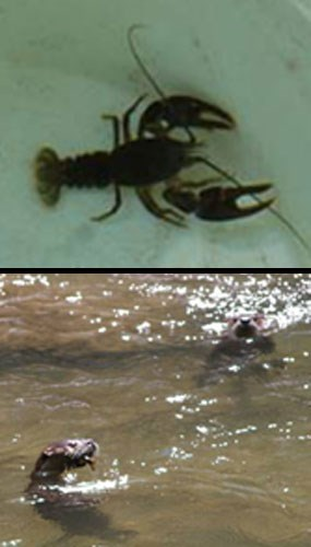 A composite of two photos showing river otters (bottom) and their primary food source in the park, crayfish (top).