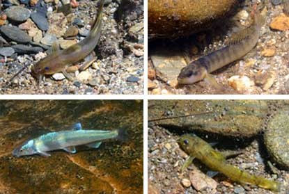 A composite image of four federally threatened or endangered fish species that live in park waters.