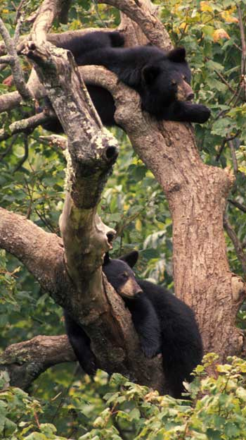 Two bears relax in a tree