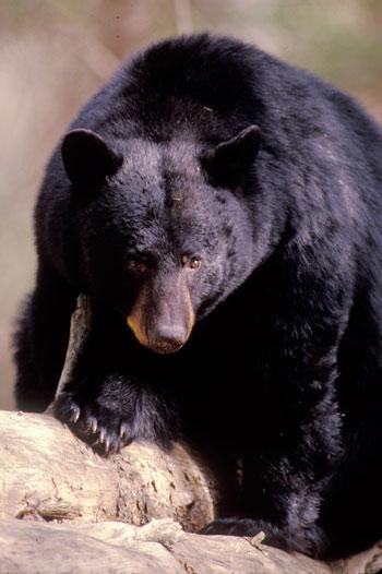 2b18f8dc01f Black Bears - Great Smoky Mountains National Park (U.S. National Park  Service)
