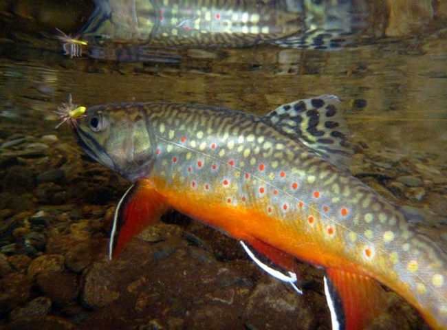 brook trout chasing a fly fishing lure