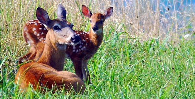 A white-tailed deer doe and fawn in the tall grass in Cades Cove