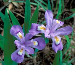Crested Dwarf Iris Wildflower