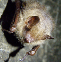 Eastern Pipistrelle bats are one of the species affected by white nose syndrome.