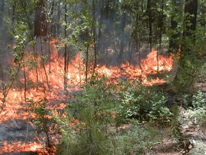 Prescribed fires are used to invigorate ecosystems and species that benefit from fire.