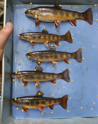 Preserved brook trout pinned to a board