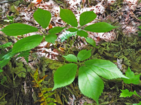 Does Ginseng Grow In Ohio