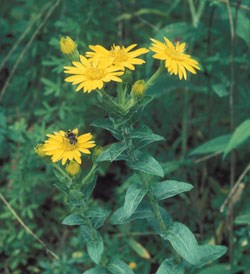 Maryland Golden Aster Wildflower