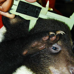 Measuring a black bear cub.