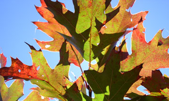Changing leaves of a black oak on Parson Bald.
