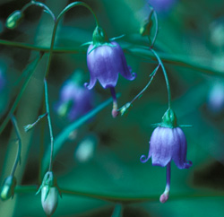 Southern Harebell Wildflower