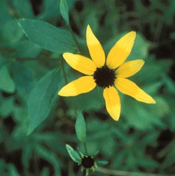 Three-Lobed Black Eyed Susan Wildflower