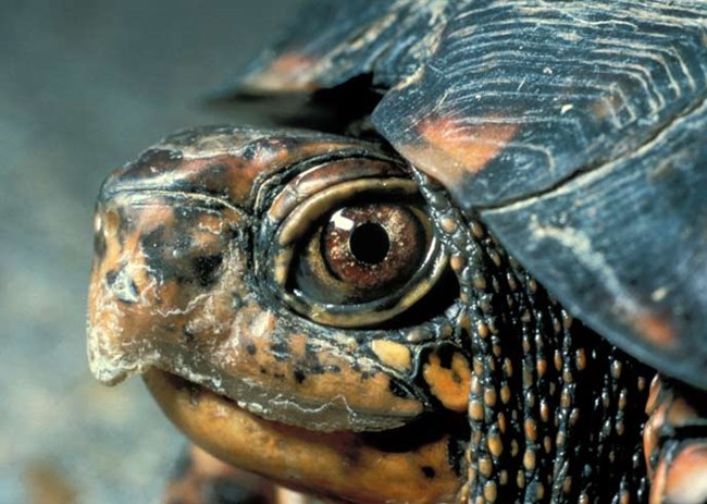 Close up photo of a box turtle's head