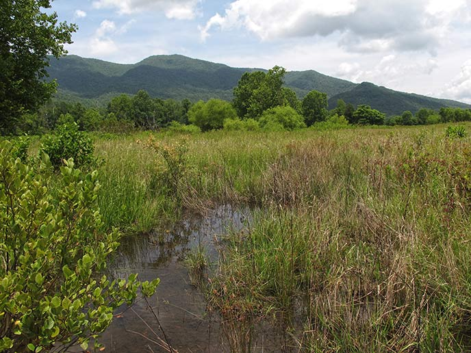 An emergent wetland in an open field in Cades Cove
