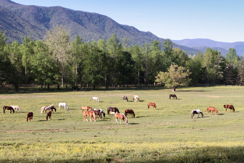 Horses graze near the Cades Cove Riding Stables at Great Smoky Mountains National Park