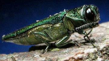 Emerald Ash Borer. Photo by David Cappaert