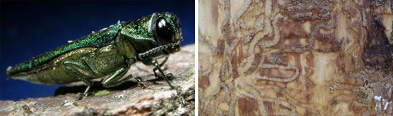 Two photos: A close up of emerald ash borer insect and a photo of the tunnels insect larva create under ash bark.