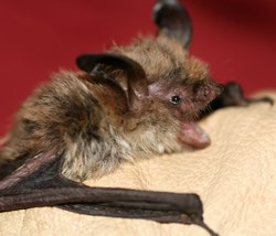 Researcher holding a northern long-earred bat