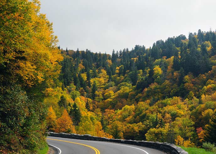 Yellow and gold fall colors surround the road on Highway US-441 near the crest of the mountains at Newfound Gap.