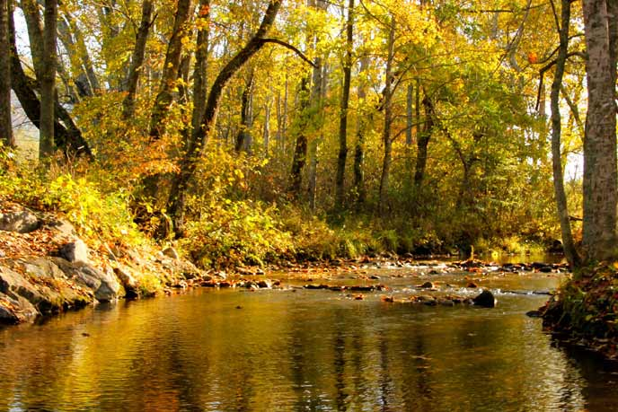 Yellow leaves cast a golden hue to the waters of Abrams Creek in Cades Cove
