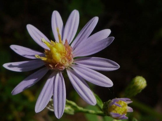 Several species of asters bloom in the park during the fall.