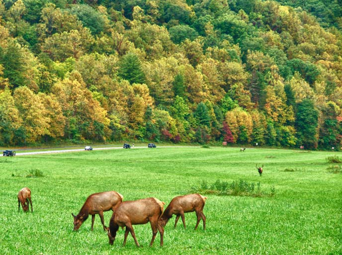 Elk graze in the field near Oconaluftee Visitor Center
