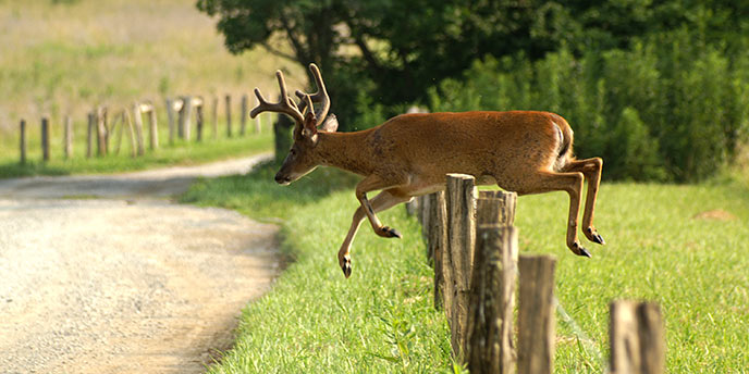 A white-tailed deer jumps a fence in Cades Cove
