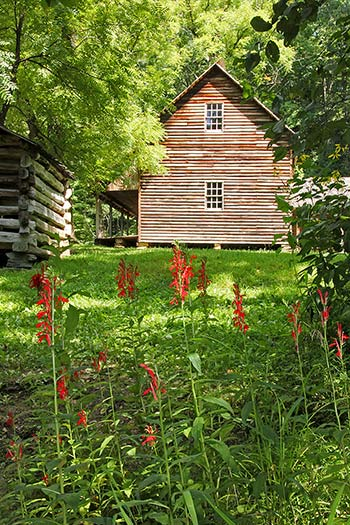 Red cardinal flowers blooming in front of a cabin