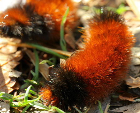 Woolly bear caterpillars