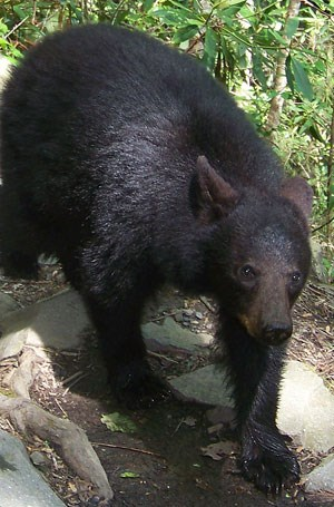 Photo of black bear prior to attacking a visitor.