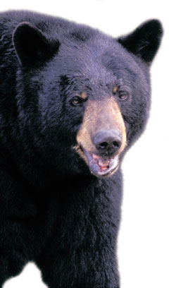 Scientists estimate that 1,500 black bears live in the park.