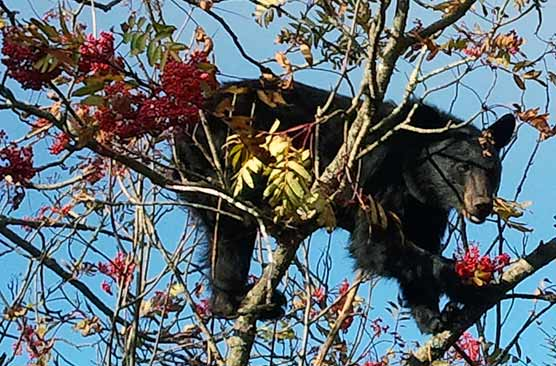 A black bear eating American mountain ash berries at Clingmans Dome. Oct. 3, 2011.