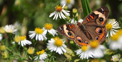 A common buckeye butterfly on the blooms of a white aster.