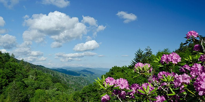 Big, pink blooms of Catawba rhododendron in the foreground, with green mountains shading to blue as they stretch to the far horizon.