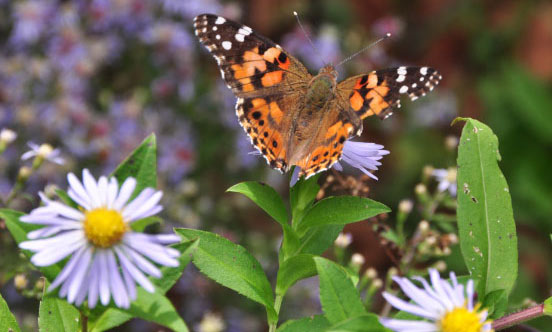 A painted lady butterfly on purple aster blooms.