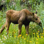 Moose calf in Grand Teton