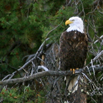 Bald Eagle sitting in tree