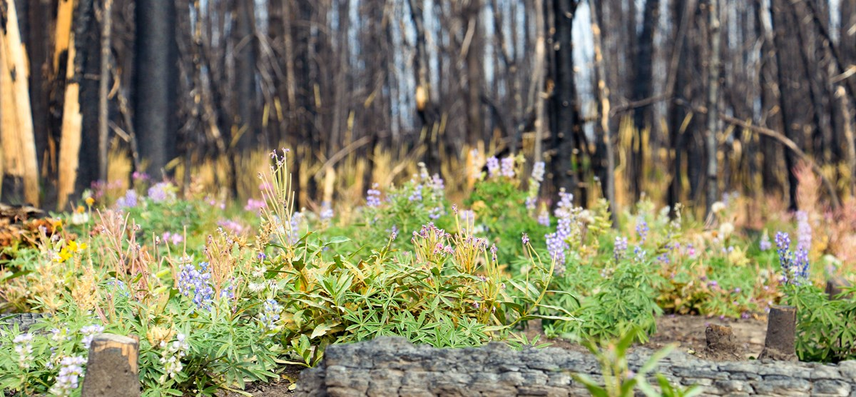 Colorful pink and purple wildflowers bloom within a burned forest, with blackened standing dead trees are visible in the background.