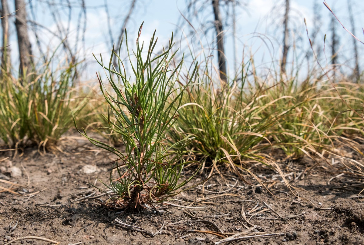 A small, two-year-old lodgepole pine seedling grows out of the dirt, surrounded by dozens of other small plants.
