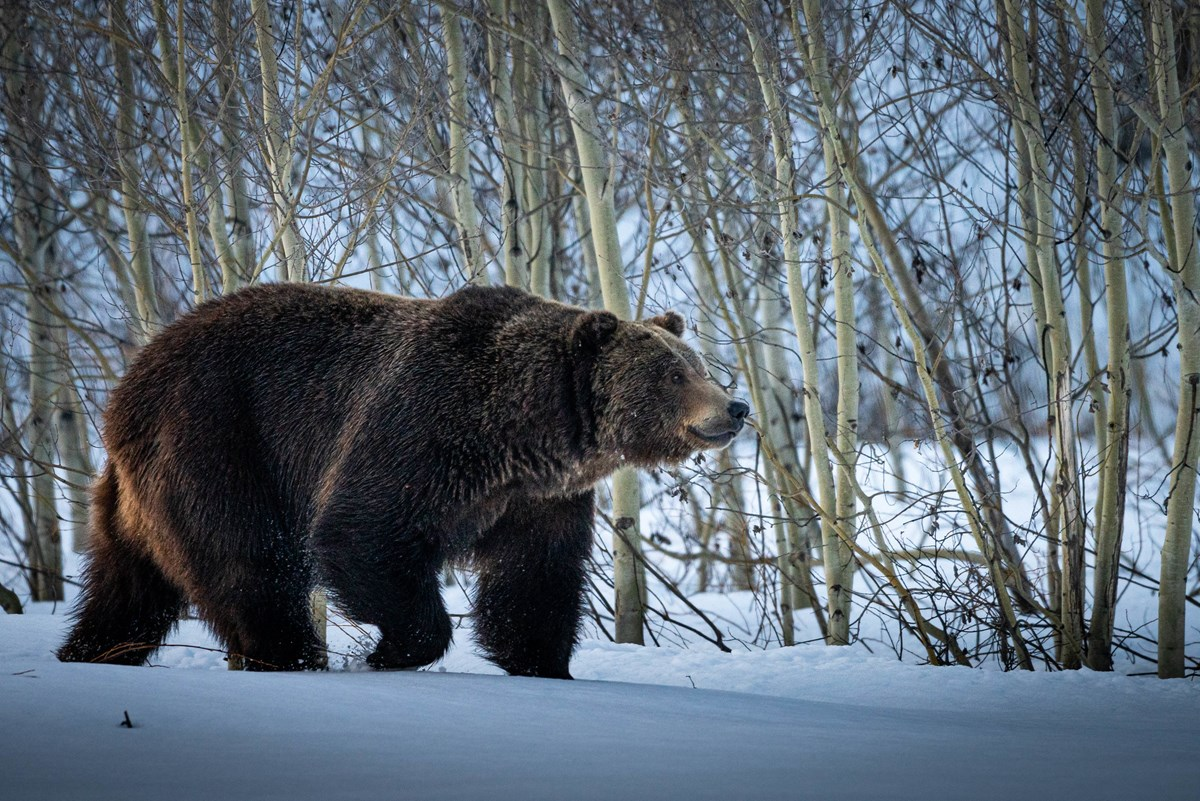 Grizzly bear walking through snow with aspen trees behind.